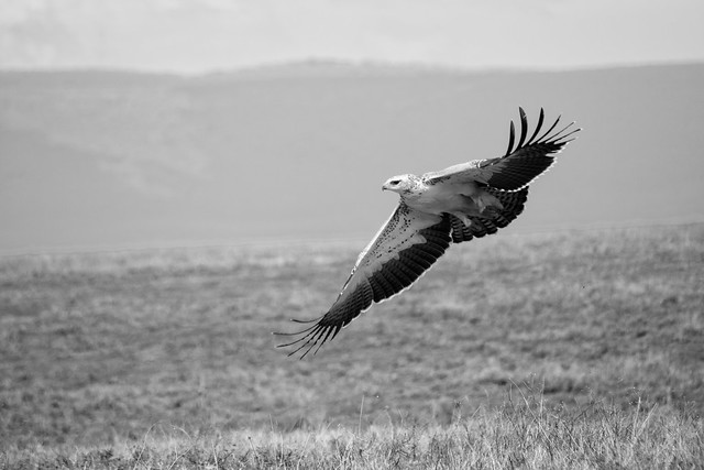 Martial Eagle - Ngorongoro Crater
