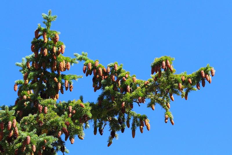 IMG_3742 Engelmann Spruce
