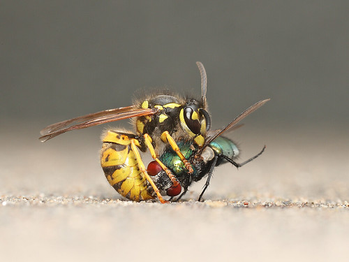 Wasp wrestling with a Green bottle fly.