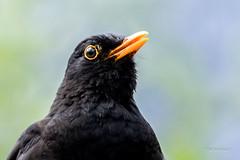 Solsort - Blackbird - Turdus merula - Emdrup -  Danmark-9201