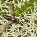 Small photo of Tabanidae Pangoniini Pangoniinae