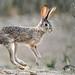 Ethiopian Hare (Helen Pinchin)