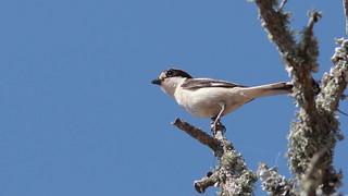 Picanço barreteiro - Lanius senator - Woodchat Shrike