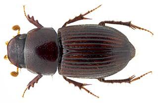 Aganocrossus khuntianus (Balthasar, 1940) Syn.: Aphodius (Aganocrossus) khuntianus Balthasar, 1940
