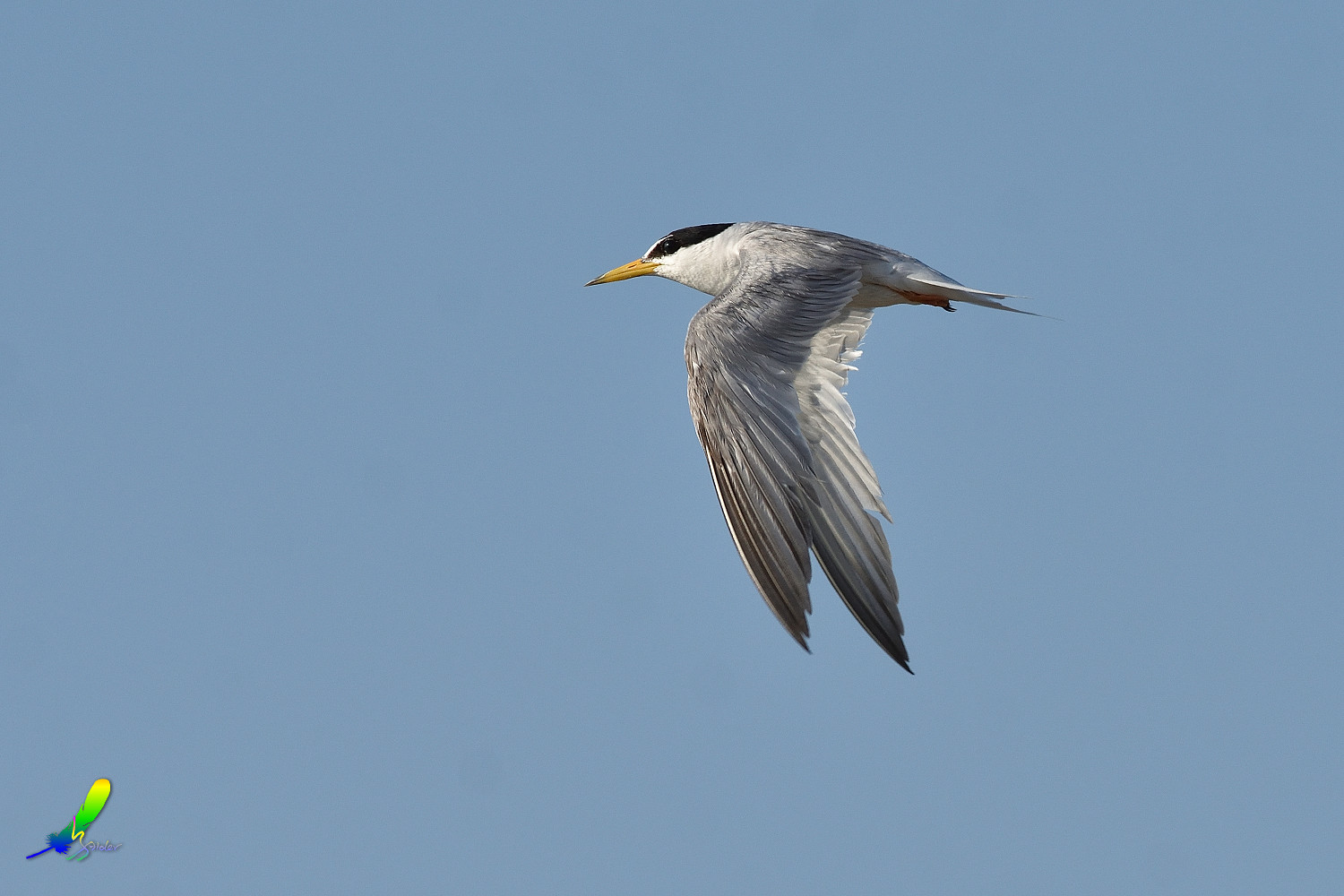 Little_Tern_0128