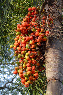 Fruits of an oil palm