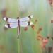 Bandheidelibel / Banded Darter / Sympetrum pedemontanum