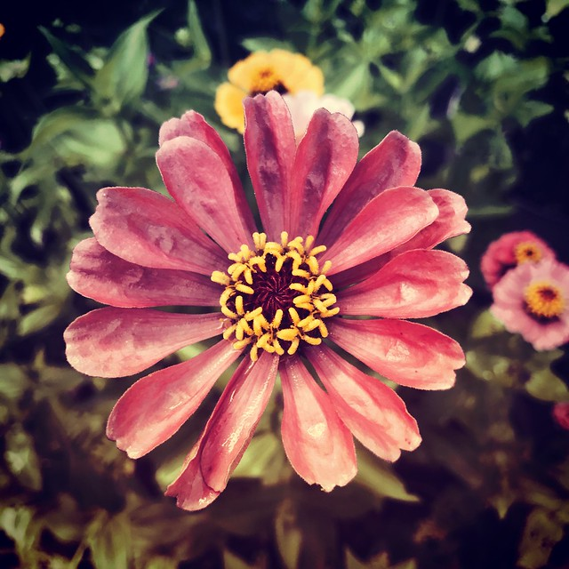 Zinnia After the Rain