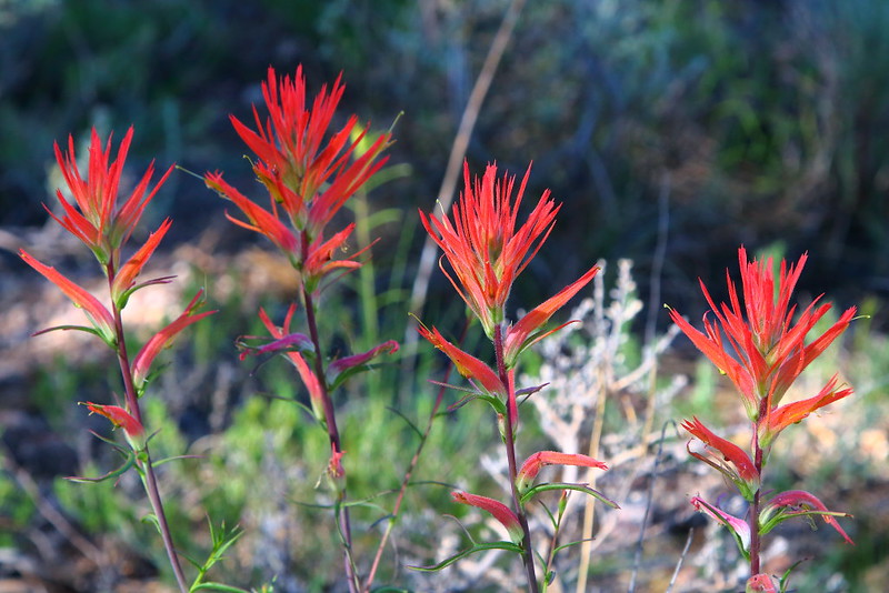IMG_5657 Narrow-Leaved Paintbrush