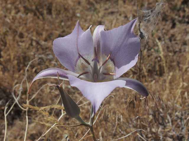 Calochortus Favorites