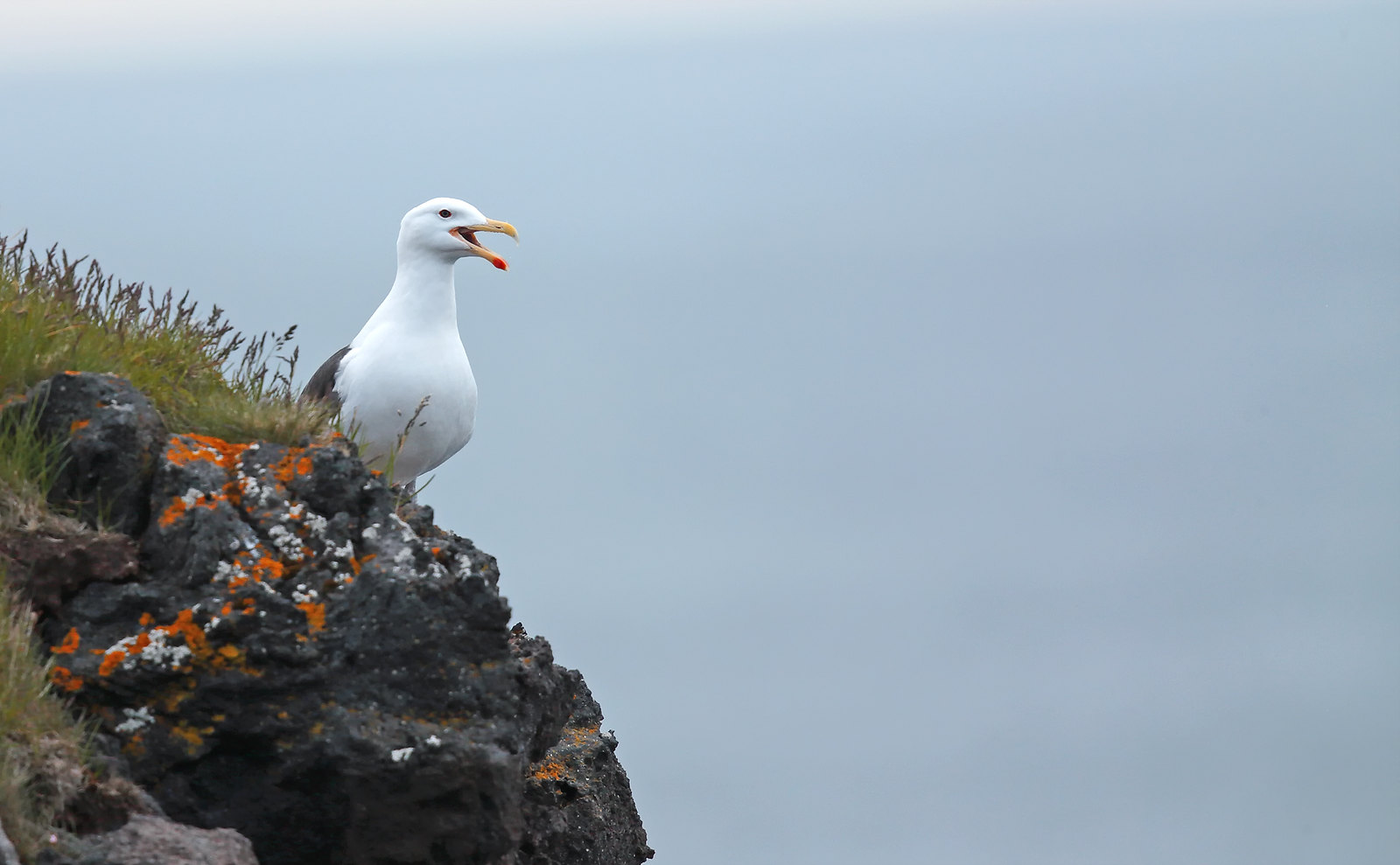 Lesser Black Backed Gull
