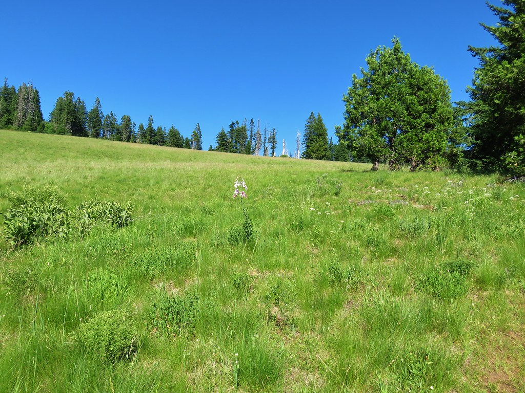 Washington lily in Grasshopper Meadow