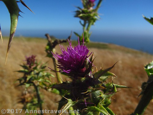 A blooming thistle along the Vista Trail north of Jenner, California