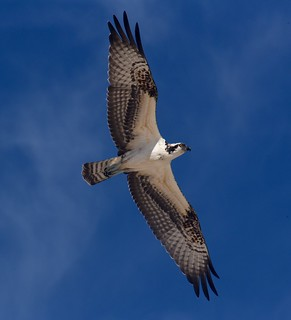 Best Bird HM - Sally Crawford - Osprey Flying High