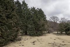 Hakone trees