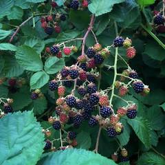 Blackberries the harvest begins 7 23 2017