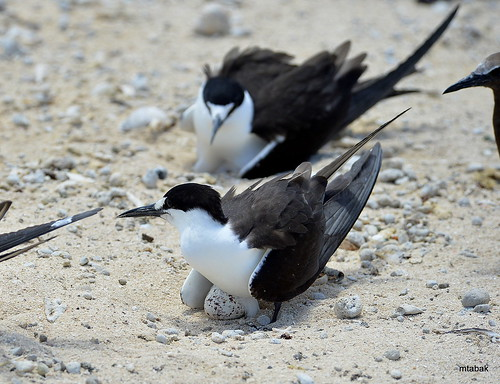 Sooty Terns on eggs