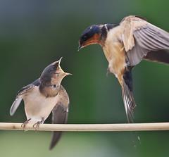 Barn Swallow Feeding Sequence