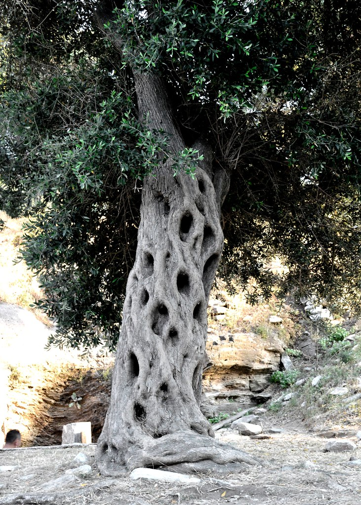 Olive Tree by Ioanna Papanikolaou CSC_1590