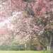 Soft Light-Cherry Tree