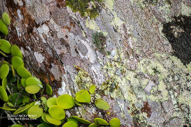Bark mantis (Theopompa tosta) - DSC_7723