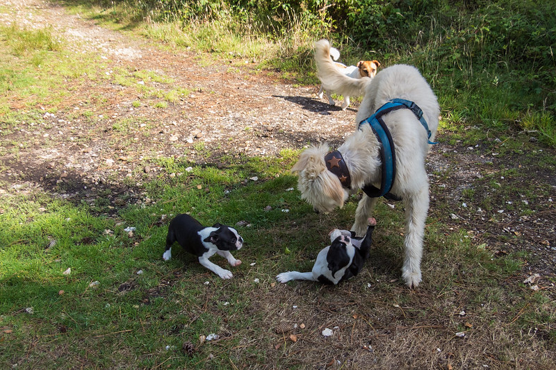 Teddy meets two 13 week old French Bulldog pups