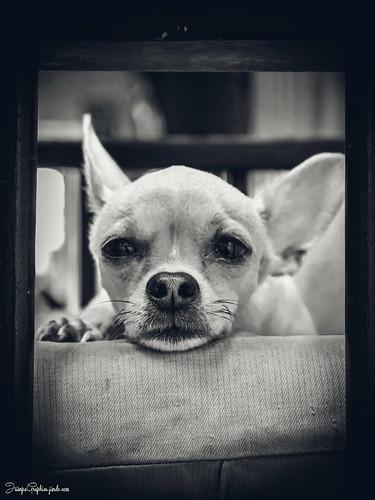 Dog Thoughtful