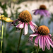 Small photo of Ragged Coneflowers, Minneapolis