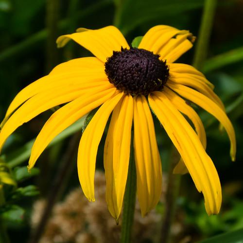 Coneflower, petals drooping