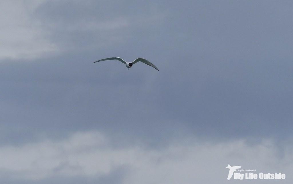 P1100200 - Arctic Tern, Isle of Mull