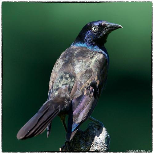 birdfeederblind raphaelkopanphotography cincinnati ohio d500 nikkor600f4evr 14xtciii monopod