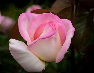 Rose, Pink & White, Pauillac FR