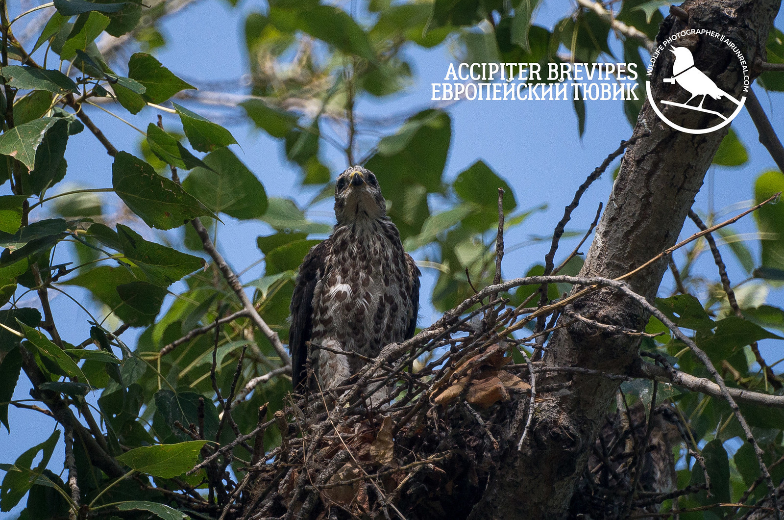 Accipiter brevipes // 20170804