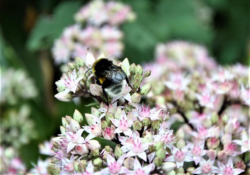 Bees in Sedum 30.08 (2)
