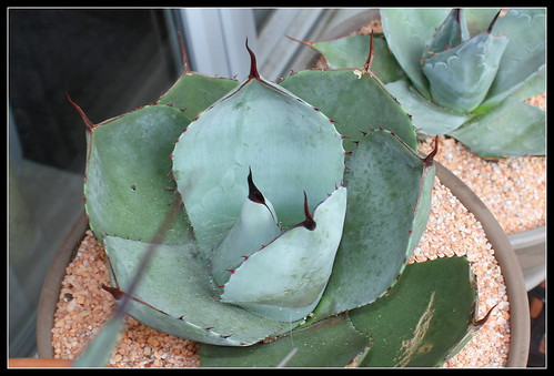 Agave parryi - Page 2 36102885254_dfcd6bfe2e