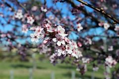2017 Cherry Blossoms 5