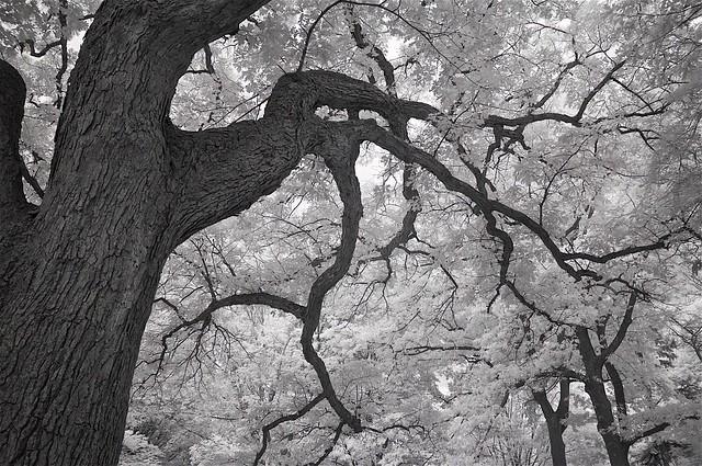 Mount Auburn Cemetery IR trees