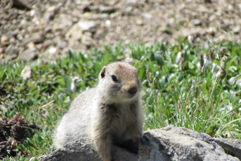 Ground squirrel near Eielson Visitor Center