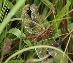 HolderBrown Hawker warming up in the undergrowth (Aeshna grandis) - Centenary Riverside