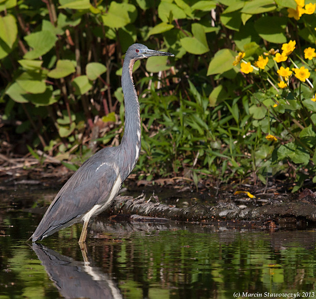 Three colors and a heron