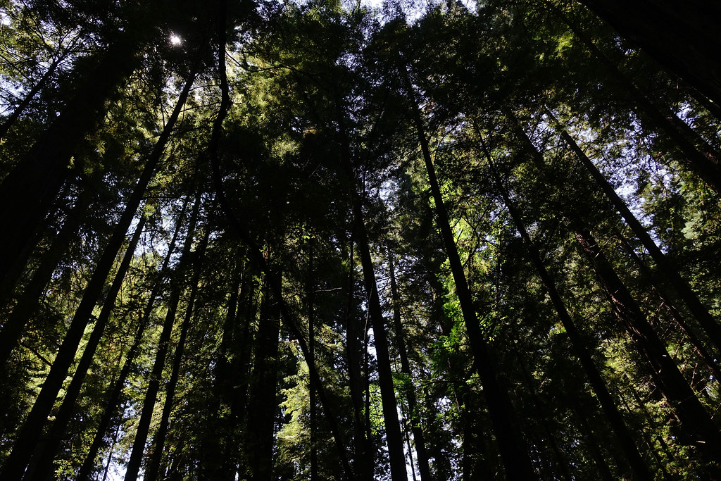 Light Through the Redwoods 2