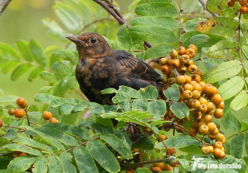 P1100485 - Blackbird, Isle of Mull