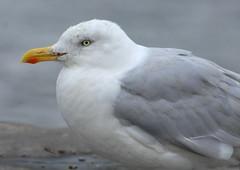 Herring Gull ad.