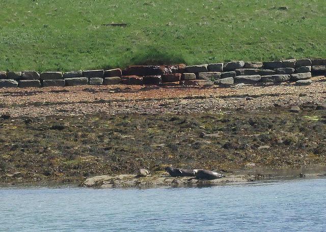 Seals on Flotta, Orkney