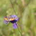Hummingbird Moth