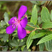 7169 - Tibouchina Sp - Melastomataceae by chandrasekaran a 55 lakhs views Thanks to all.