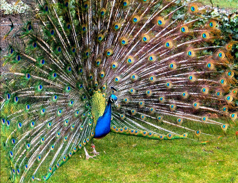 A peacock strutting his stuff at Warwick Castle. Credit pjs2005, flickr