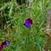 Sweetpea, Anne Hathaway's Cottage garden