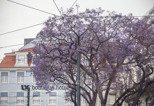 Jacaranda tree in Lisbon