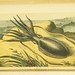 Sepia officinalis: Cuttle fish by National Library of Medicine - History of Medicine